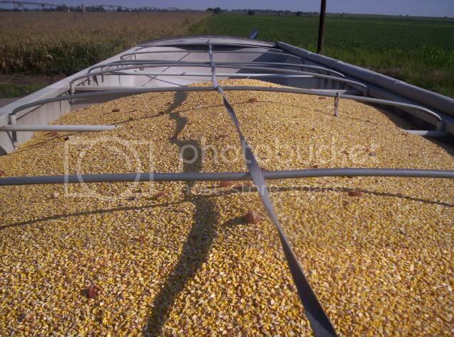 corn,corn harvest,farm,harvest