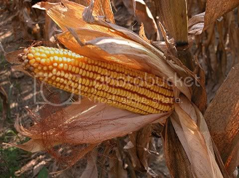 corn,corn harvest,farm